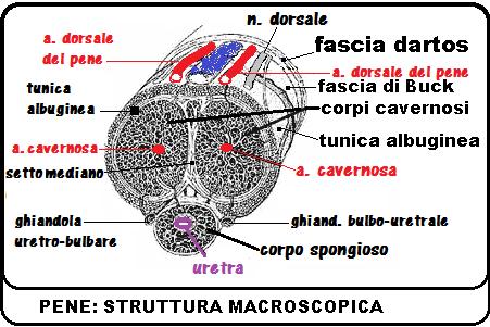 Pene - Wikipedia