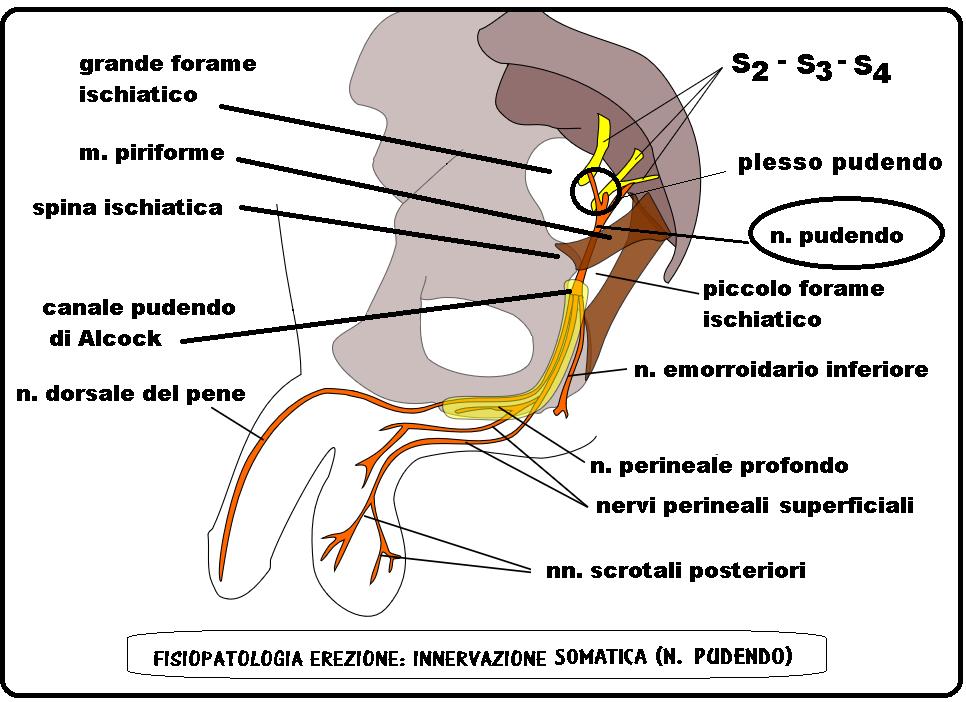 Fisiologia dell'erezione: tipologia, fasi, fattori neurovascolari - Alessandra Graziottin