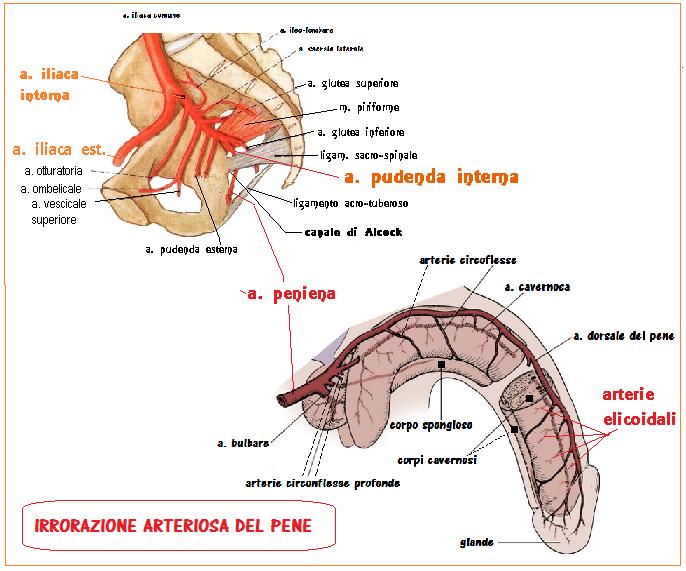 composizione del pene di manzo