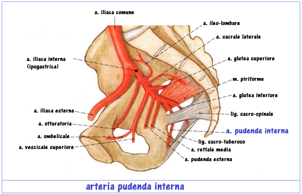 Arteria pudenda interna | FertilityCenter