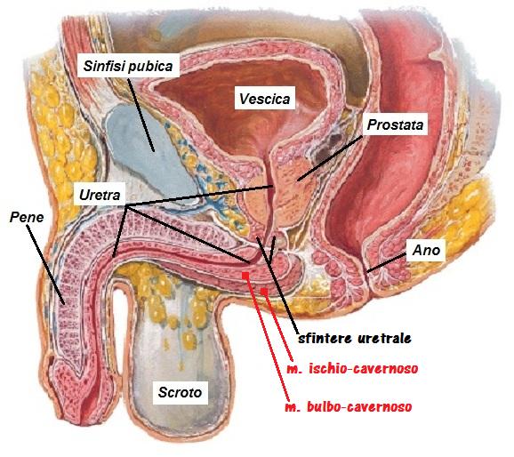 muscoli dellerezione del perineo