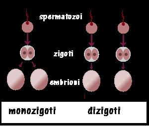 Gravidanza fertilitycenter - Gemelli monozigoti diversi ...