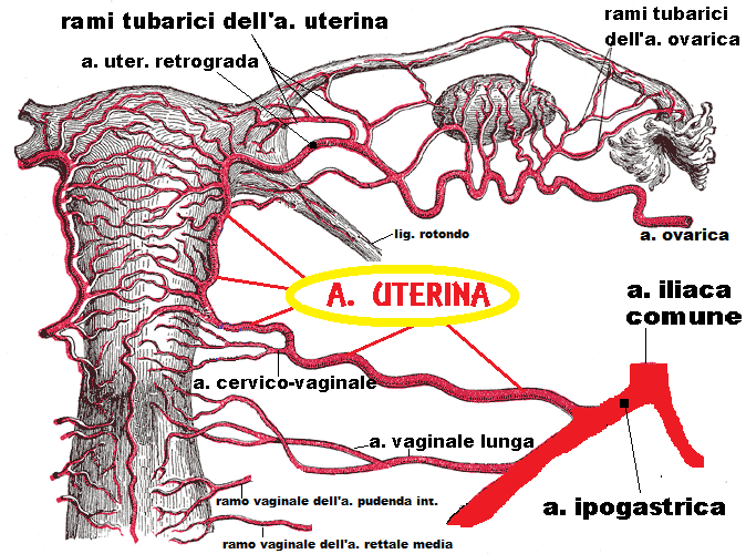 Arteria uterina | FertilityCenter