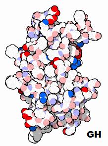 Hits: 17Dalle cellule alfa dell'adenoipofisi è prodottol'ormone somatotropo(GH, STH),detto anche ormone della crescita o somatotropina. La secrezione è pulsatile con picchi più frequenti e più ampi nelle prime ore di […]