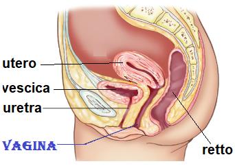 Hits: 22La vagina è una cavità cilindrica,che collega l'utero all'esterno,appiattita in senso antero-posteriore, con direzione ad asse longitudinale ed obliquo dall'alto in basso e da dietro in avanti; presenta una […]