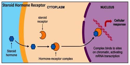 Hits: 21L'attività degli steroidi sessuali si esplica attraverso il loro legame con un sistema di recettori intracellulari; i recettori di altri ormoni comeGH, Insulina, Adrenalina invece sono posizionati sulla superficie […]